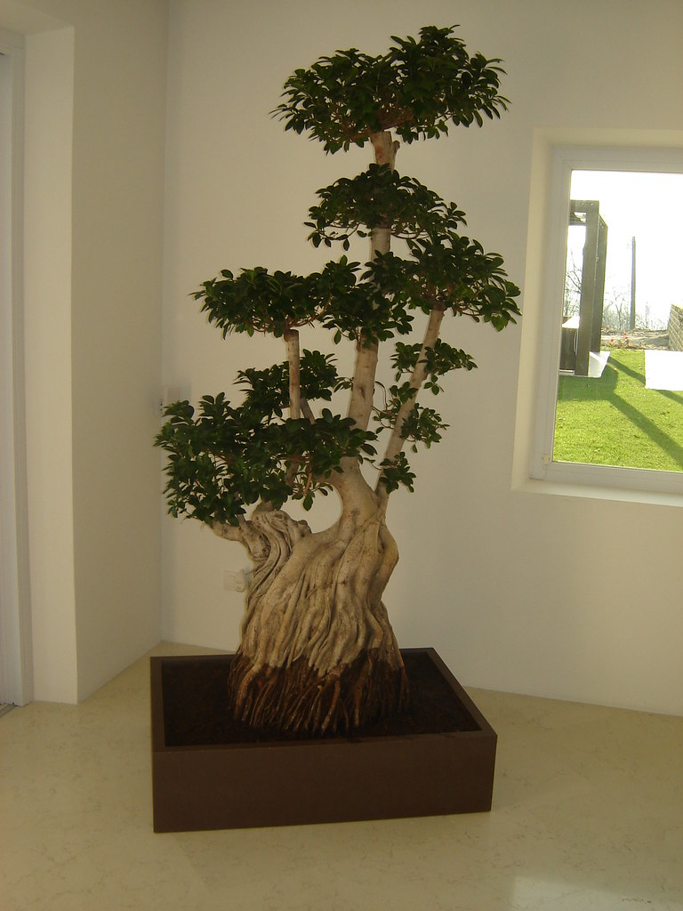 Ficus gins.bonsai esemplare h350 cm c