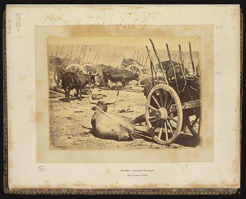 Bueyes en Toledo en el siglo XIX. Foto Jean Laurent. Biblioteca Nacional de Brasil