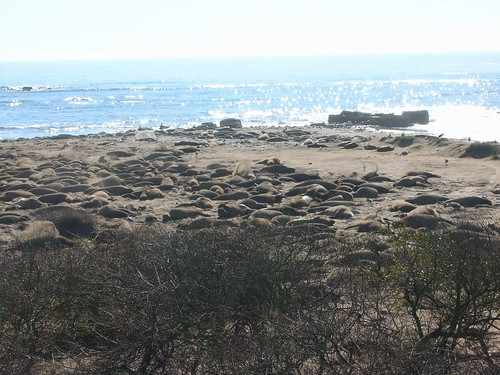 The Serengeti of Elephant Seals