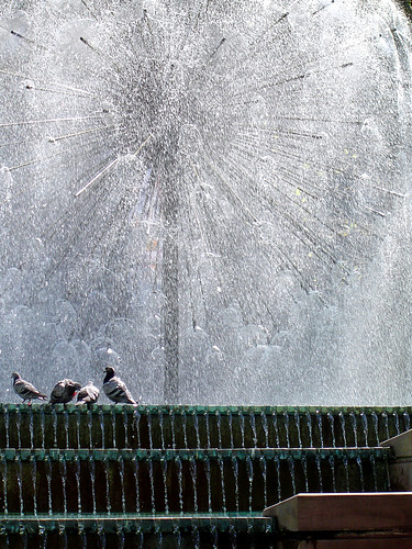 fountain pigeons