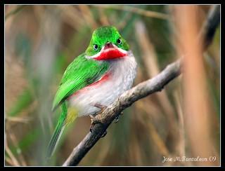 Chi-cui(Todus angustirostris)Narrow-billed Tody.Dedicada a Mayra,por soportar a este cimarron por 20 anos.La mas apreciada de mis aves endemicas para ti.