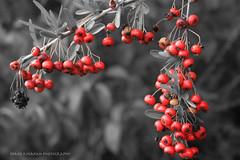 Red to Black (kinahanshane) Tags: red blackandwhite bw white black dof shane selectivecolor otw kinahan