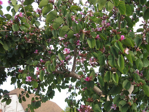 flowers of an orchid tree (Bauhinia variegata) blooming in late March