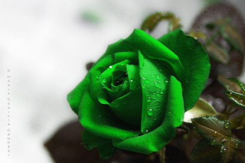 Green rose by Maria Cecilia Camozzi.