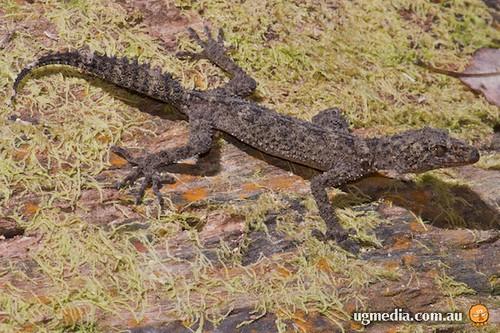 Eungella leaf-tailed gecko (Phyllurus nepthys)