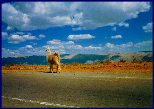 vicuña Andes peruanos