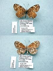 NW27-7 Dymasia dymas (nymsysgro) Tags: unitedstatesofamerica nymphalidae nymphalinae dymasia dymas melitaeini chlosynina