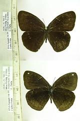 Forsterinaria guaniloi