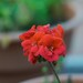 Red flower bokeh