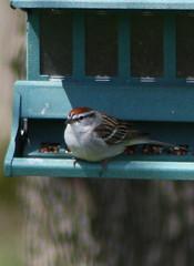 Chipping sparrow (birdnerd25) Tags: bird feeder sparrow chipping