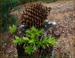 Bunya pine - young cone and new growth by Tatters:)
