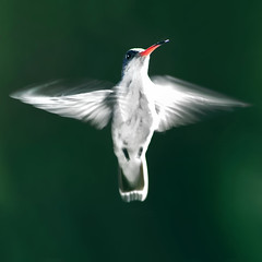 An Angel (risquillo) Tags: white bird nature speed mexico fly nikon hummingbird flash d2x sb800 risquillo