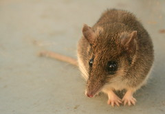White-footed Dunnart (Sminthopsis leucopus)