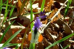 Butterfly & Bluebell