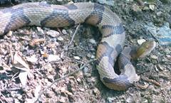 hello reptile (twheat) Tags: spring snake copperhead chattahoochee trailrunning