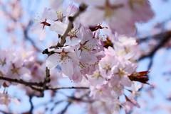 cherry-blossom!