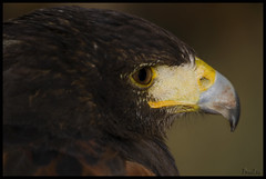 Aguila de Harris (Jose Peral Merino) Tags: ojo pico harris rapaz agula