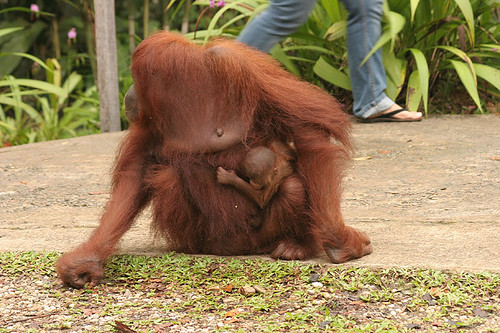 Mother and child Orangutan at Semenggoh