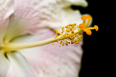 A pale pink hibiscus (Sravan Nerella) Tags: flowers flower longwood