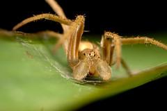 Spider (Sharon_S) Tags: macro spiders insects bugs trinidad blueribbonwinner canoneos50d platinumphoto canonmpe65 theperfectphotographer insectsbugsbutterfliesoftrinidadandtobago photosofinsectsoftrinidadandtobago