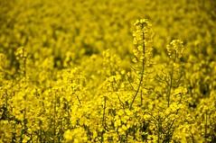 [フリー画像] [花/フラワー] [花畑] [菜の花] [イエロー/花] [黄色/イエロー]      [フリー素材]