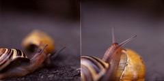 Guckuck (MissCooper) Tags: snail snails snailshell feeler schneckenhaus fhler gartenschnecke