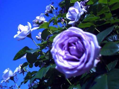 霊山寺「バラ庭園」トイカメラ-01