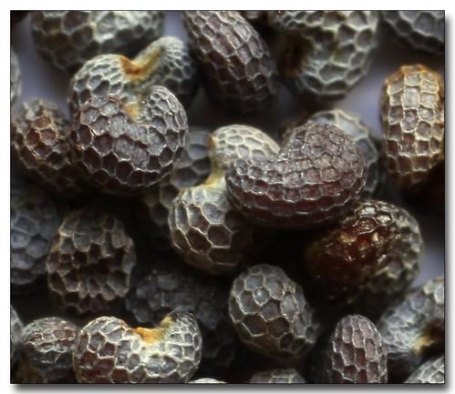 Poppy Seeds, Extreme Macro
