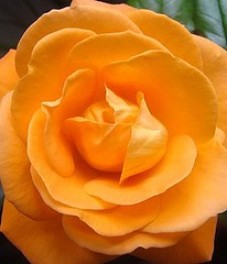 Glowing Rose (The Farmers Daughter) Tags: flower macro cute nature garden orangerose peachrose apricotflower roseblossom orangebloom