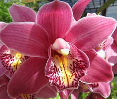 Vinröd orkidé / Cymbidium orchid (HJsfoto) Tags: flowers orchid blommor orkide naturesfinest fantasticflower brillianteyejewel flickrsfantasticflowers auniverseofflowers
