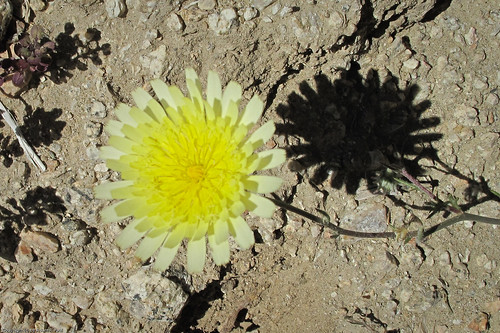 Desert Dandelion by you.