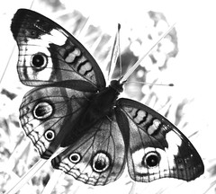 Common Buckeye Coloring Page 1