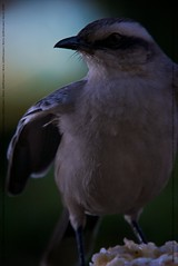 Sabiá-do-Campo II (Johanes Duarte 2013) Tags: birds aves nocrop pássaros casadadinha chalkbrowedmockingbird mimussaturninus strobist sabiádocampo calandriacomún canonmarkiin1d