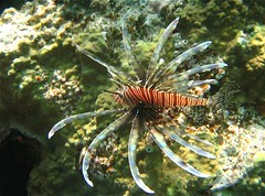 Lion Fish Orchid Island, Taiwan