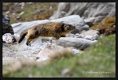 splash ! (Guillaume Collombet) Tags: mountain alps nature water montagne alpes eau wildlife savoie animaux mouvement maurienne sauvage faune vanoise marmotte orgre vosplusbellesphotos