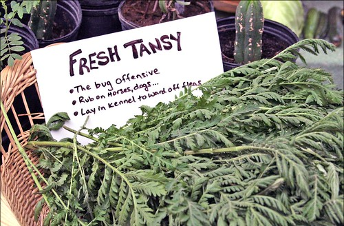 Fresh Tansy