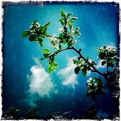 Apple blossoms. (Sascha Unger) Tags: light sun tree apple weather germany garden licht spring sascha bloom blüte sonne garten ruhr ruhrgebiet baum apfel wetter frühling iphone moers hipstamatic kodotverichrome sascha2010 saschaunger