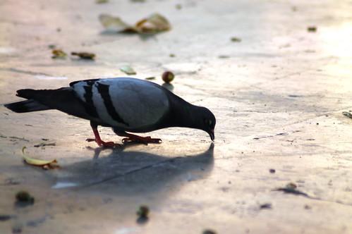 narcissist pigeon