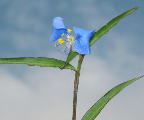 Dayflower2