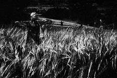 (Effe.Effe) Tags: bw monochrome rural eos countryside corn mood bn campagna espantapjaros marche biancoenero scarecrows grano milho spaventapasseri espantalho pouvantail getreide vogelscheuche