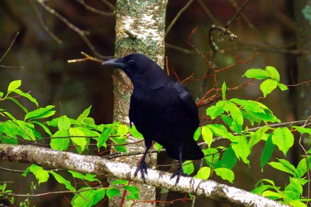hudson crow 3