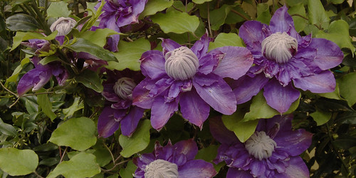 "Clematis ""Vyvyan Pennell"""