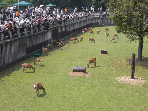 『子鹿たちとおかあさん鹿』特別公開@鹿苑角きり場