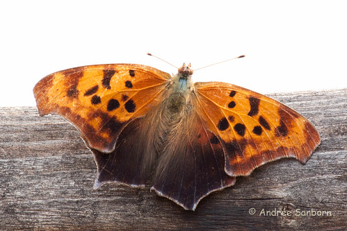 Question Mark Butterfly (Polygonia interrogationis)-7.jpg