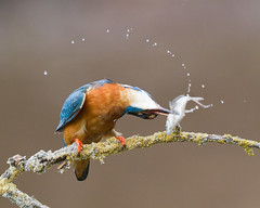 Ouch !!!! (Andrew Haynes Wildlife Images) Tags: fish nature wildlife kingfisher worcestershire ajh2008
