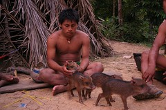 A Huaorani indian with young wild pigs (sensaos) Tags: people man forest pig ecuador community indian traditional selva tribal jungle pigs indians tribe indios indio indigenous famke huaorani indigena shiripuno waorani sensaos bameno