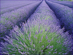 (V X S) Tags: fleur champs culture ctedazur provence lavande champ azur parfum lavandes lubron