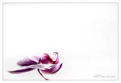 Orchidee (Corin@ 2008) Tags: flowers flower color colour macro colors rose closeup photo nikon bravo minimal orchidaceae d200 1001nights orchidee corina corin bloem sfeer flowerotica platinumheartaward wonderfulworldofflowers awesomeblossoms mygearandme corin2008