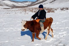MONGOLIAN KID (Claude  BARUTEL) Tags: winter cold cow wooden kid mongolia steppe veal