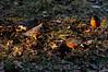 Too hungry to be fighting for territory (nosha) Tags: winter orange usa green bird nature beauty robin grass birds newjersey nikon january nj hunger february f56 2009 avian lightroom d300 200mm nosha 18200mmf3556 nikond40 january2009
